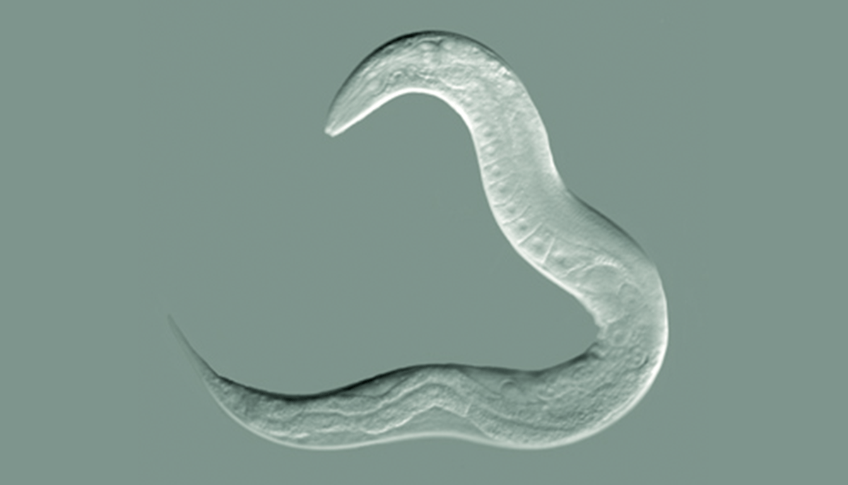 The worm speciesC. elegans was found to pass down learned behaviors through four generations
