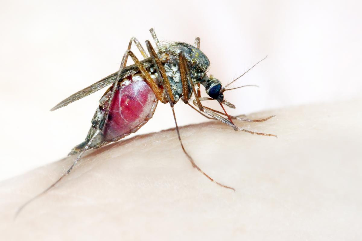 A potentially malaria parasite-carrying Anopheles mosquito