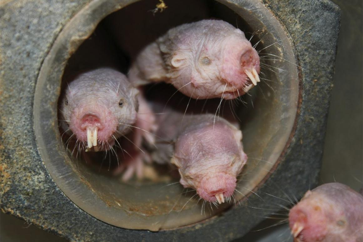 According to a new study, naked mole-rats technically don't age