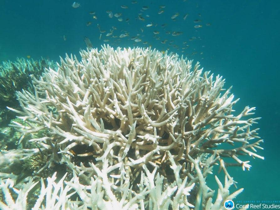Severe coral bleaching has affected huge swathes of the Great Barrier Reef for two consecutive years