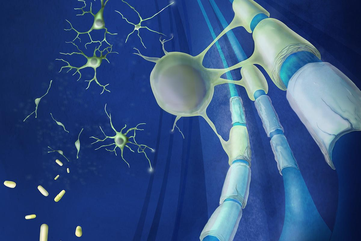 Two existing drugs cause stem cells to regenerate new myelin on MS-damaged neurons (Image: Case Western Reserve University)
