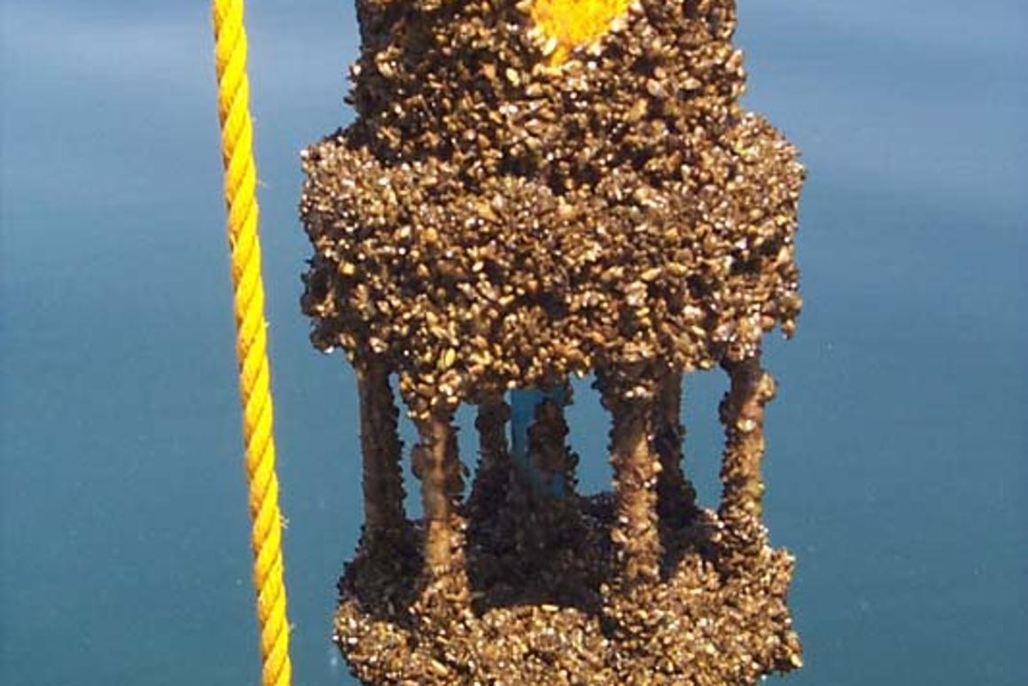 Zebra mussels fouling a marine sensor (Image: NOAA/Wikipedia)