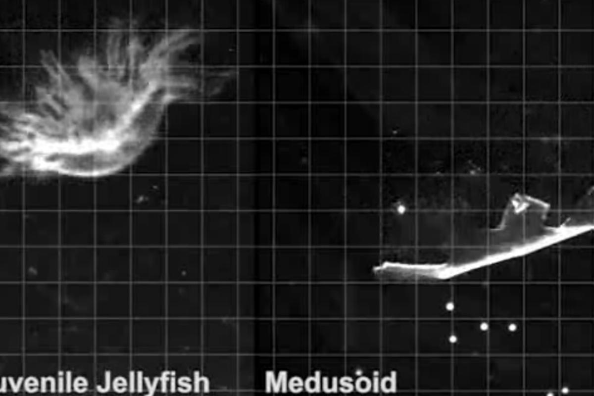 "Researchers have created an artificial jellyfish (right) dubbed ""Medusoid"" using rat heart tissue and silicone"