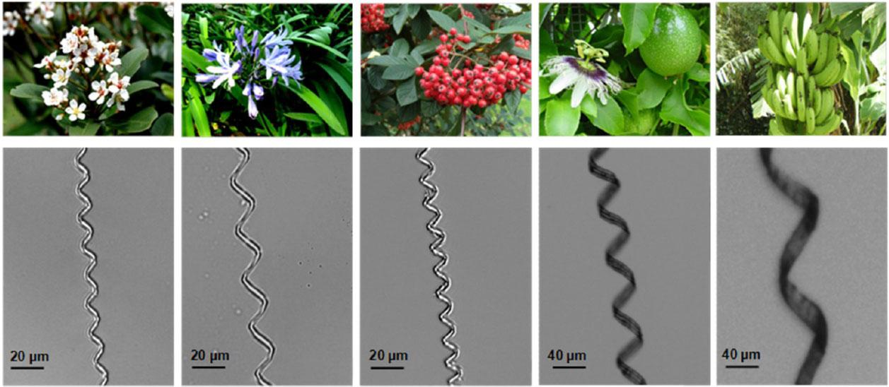 Spiral microstructures from xylem of different plants - Indian Hawthorn, African Lily, Cotoneaster, Passion Fruit and Wild Banana (Image: UCSD)