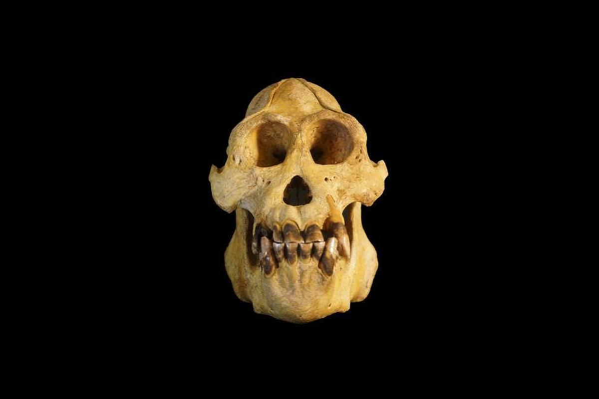 Studying the skull of an adult male Tapanuli orangutan, the researchers noted several consistent differences in the morphology of theskull and teeth from other orangutans