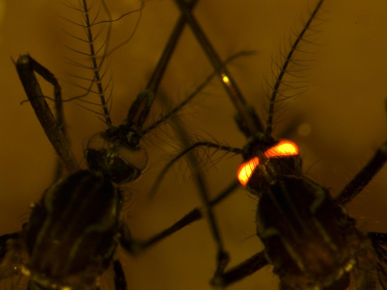 https://assets.newatlas.com/dims4/default/1459a63/2147483647/strip/true/crop/2048x1536+0+0/resize/1280x960!/quality/90/?url=https%3A%2F%2Fassets.newatlas.com%2F2f%2F45%2F93f72427420f816c264bcdc9a4bf%2Fdengue-resistant-mosquitoes.jpg