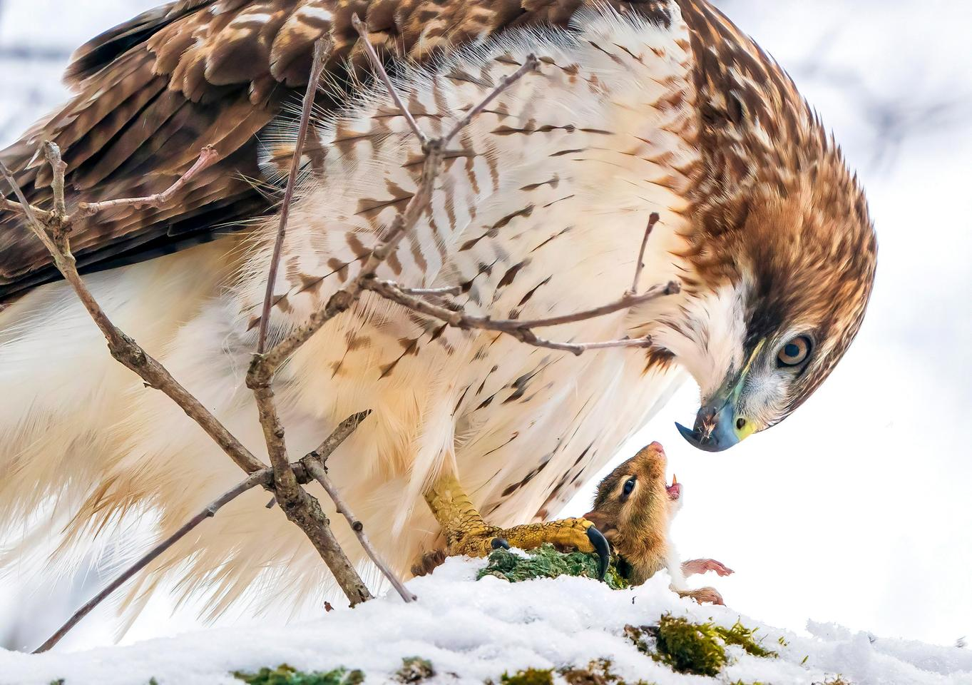 A Red-tailed Hawk holds an open-mouthed chipmunk in its yellow talons. Sony a9ii with Sony FE 200- 600mm F5.6-6.3 G OSS lens; 1/2000 second at f/7.1; ISO 3200