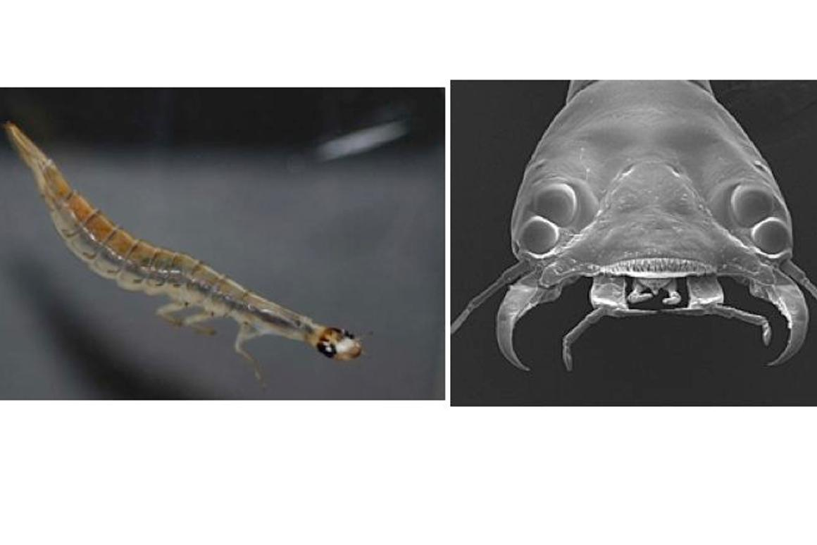 The sunburst diving beetle can teach us a thing or two about bifocal imaging