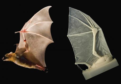 The lesser dog-nosed bat and the robotic bat wing