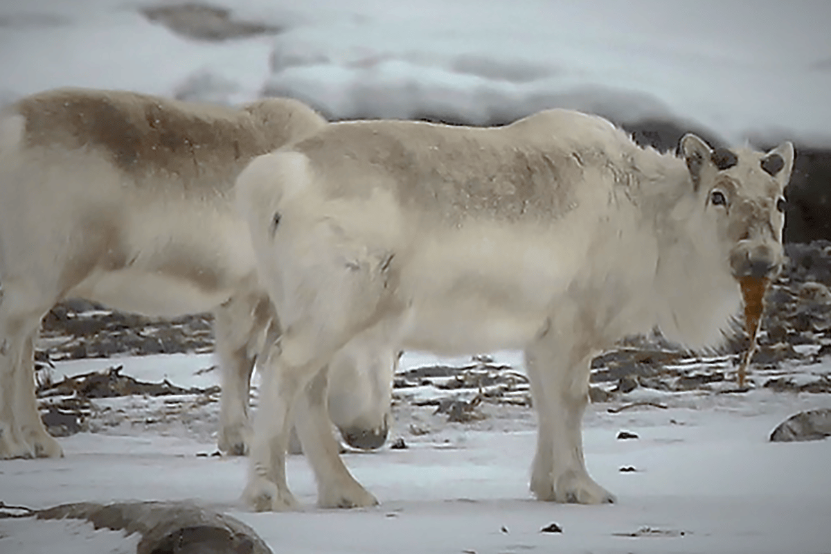 Photographic evidence of reindeer eating seaweed is only the beginning