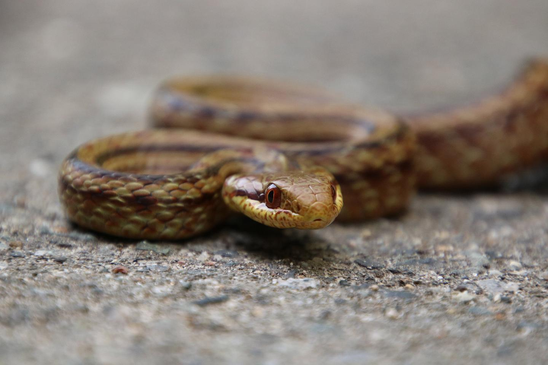A Japanese rat snake on the road near Fukushima