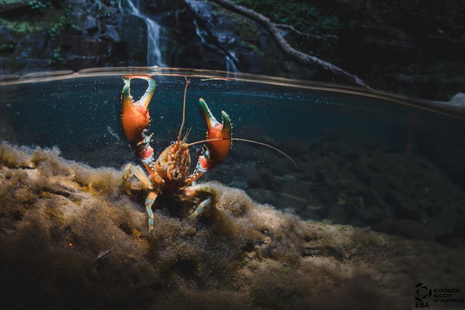 Alex Pike's shot of a southern hairy crayfish was taken with the camera only partly submerged for a striking composition