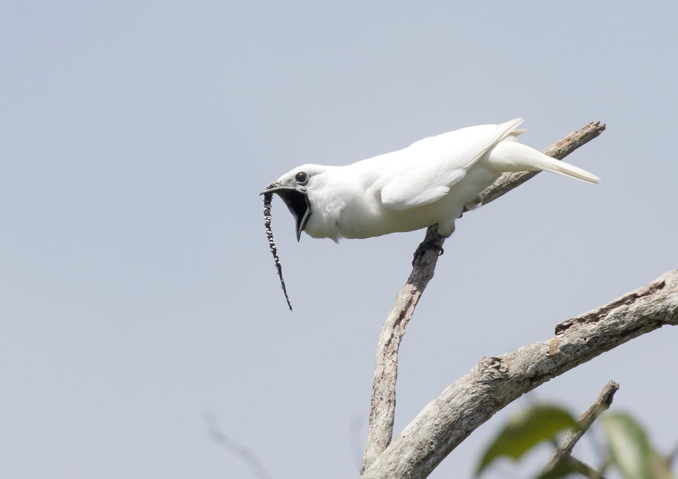 The male white bellbird is known to blast its incredibly loud song at females to impress them