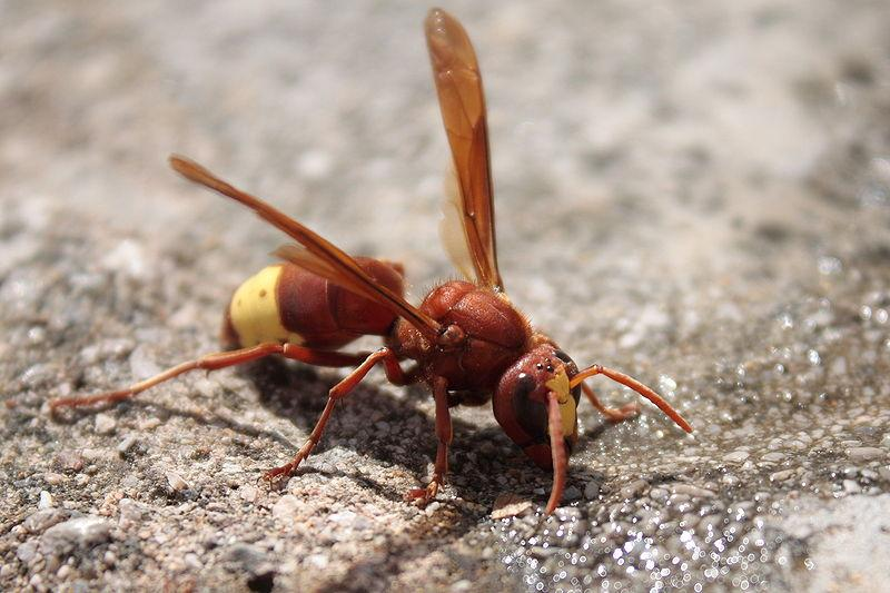 An Oriental hornet, whose yellow and brown exoskeleton is able to turn sunlight into electricity (Photo: Matti Paavola)