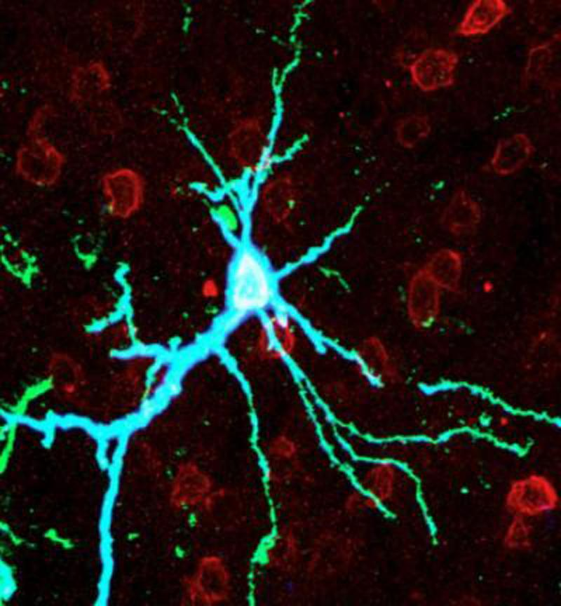 A neuron in a rat brain's cortex over-expressing PKMzeta shown in blue (Image: Todd Sacktor, M.D., SUNY Downstate Medical Center)