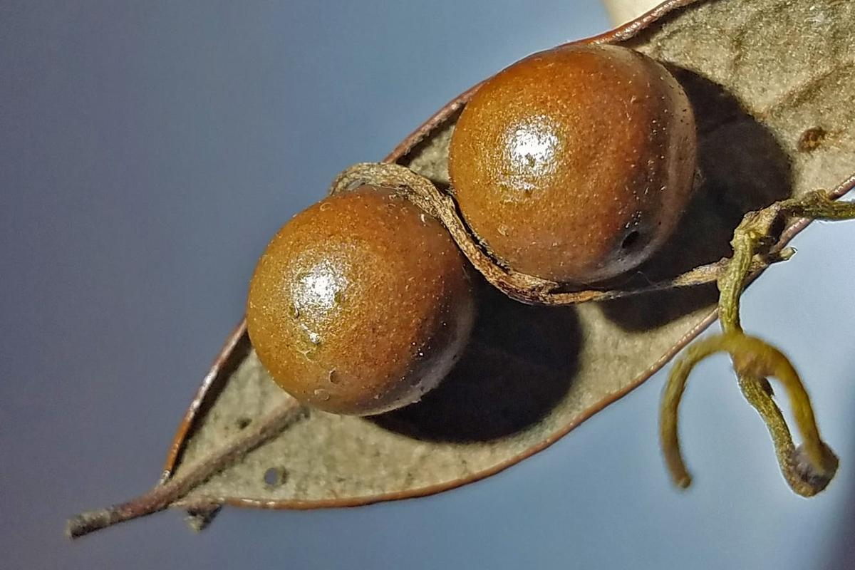 The discovery mummified wasps in ball-like gall nurseriescould one daylead to betterways ofcontrolling agricultural pests