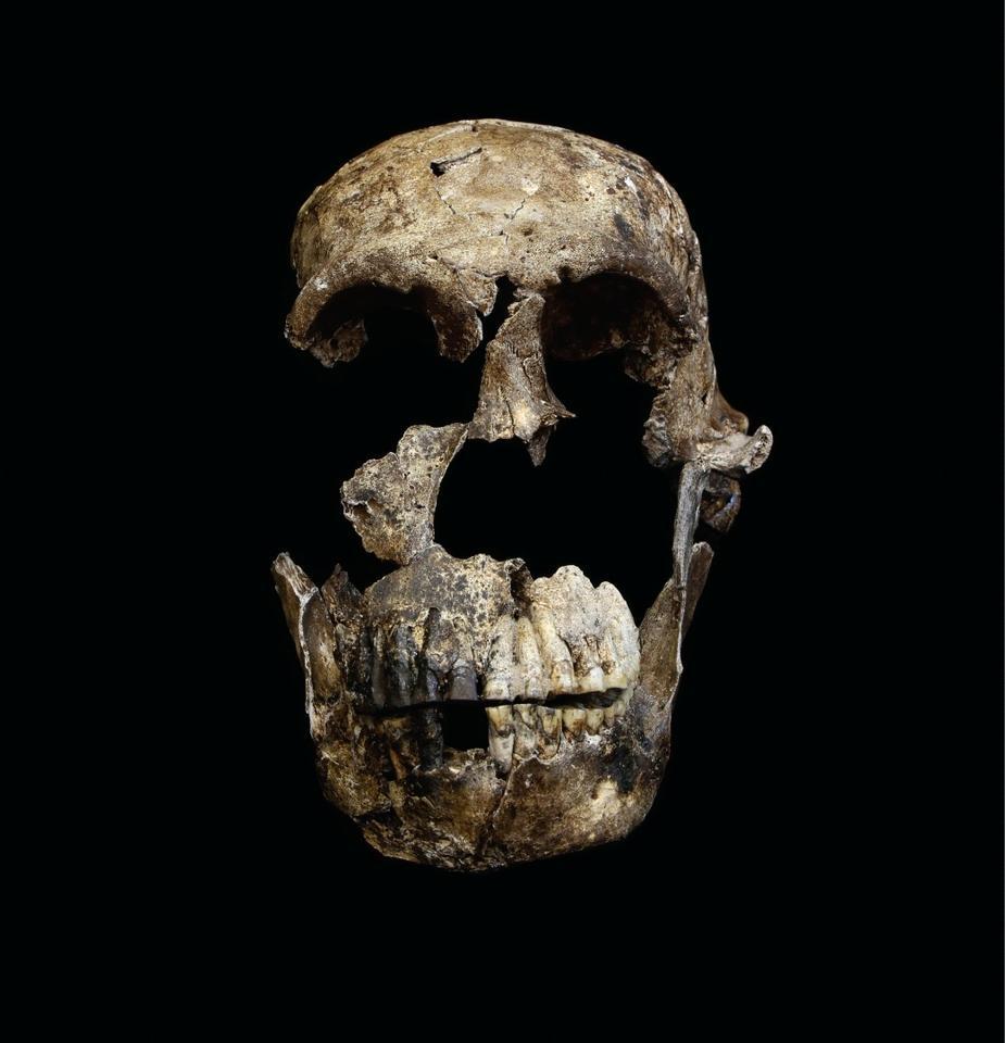 "Frontal view of the ""Neo"" skull of Homo naledi"