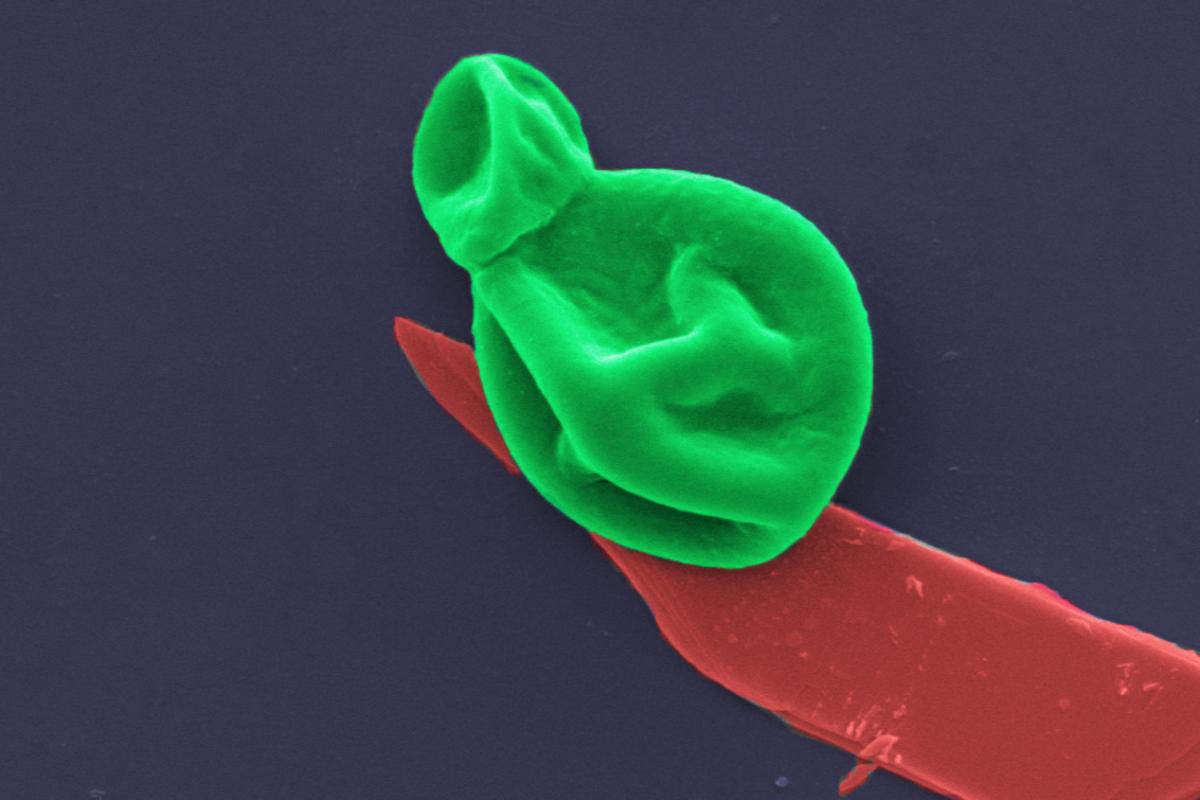 A colorized microscope image, showing a fungal cell (green) perched on a segment of black phosphorus (red)
