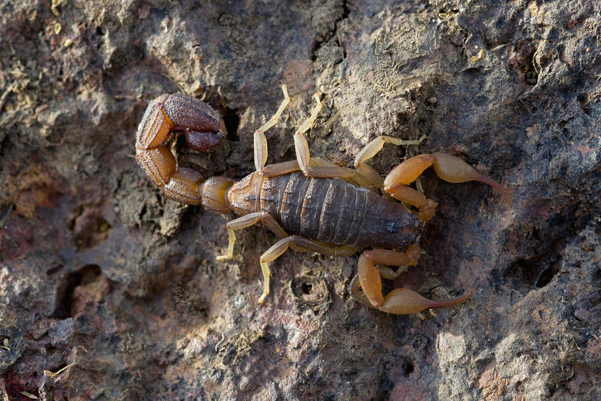 The Indian red scorpion – a good source of Tamapin