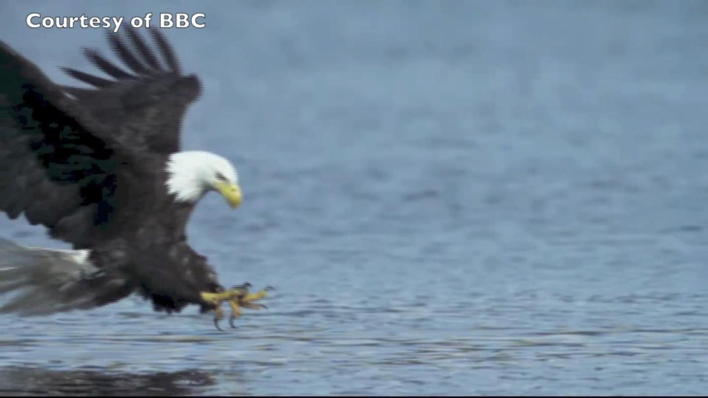 An eagle swoops to catch a fish (Photo: BBC)
