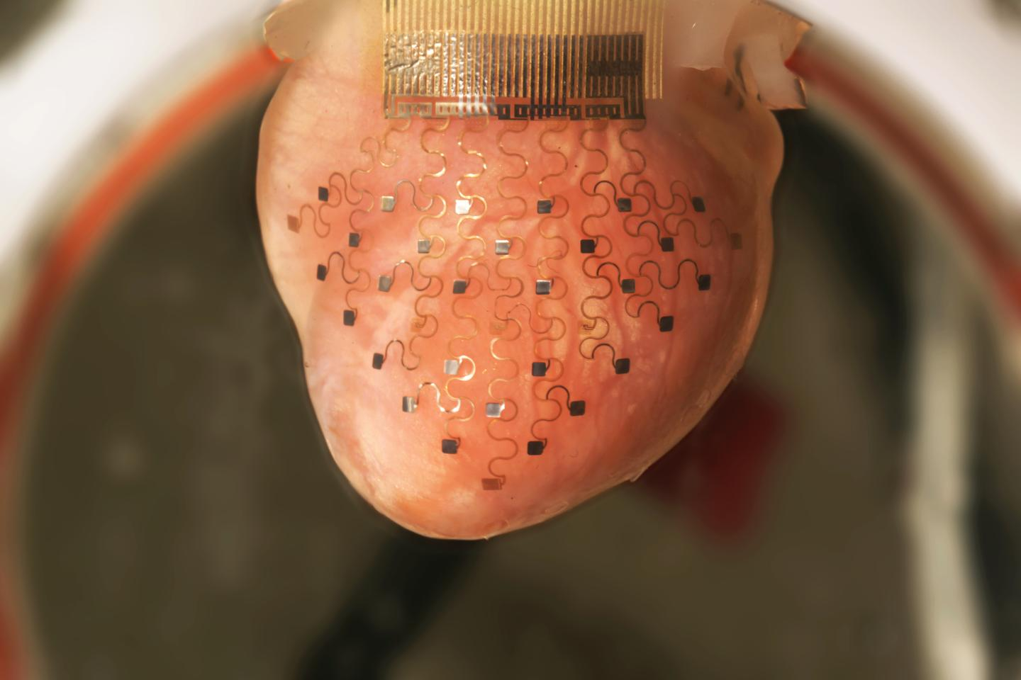 A beating rabbit's heart, fitted with one of the membranes (Photo: Igor Efimov)