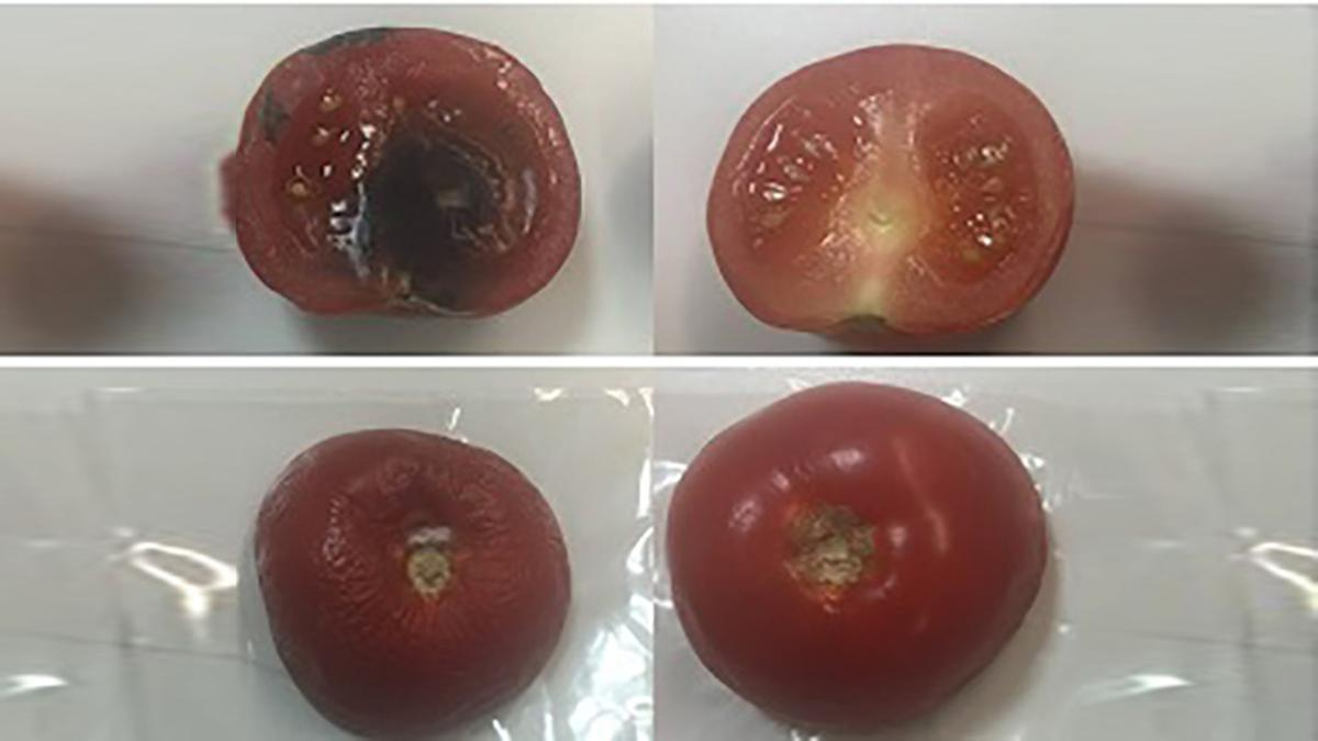 Tomatoes after six days, wrapped in conventional plastic wrap on the left, and those wrapped in the new material on the right