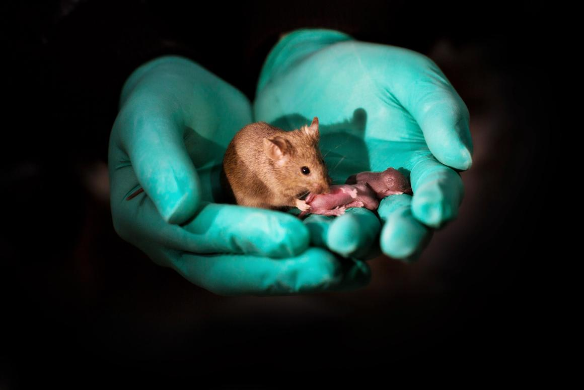 Through genetic editing and stem cells, this adult mouse has DNA from two mothers – and grew up to be healthy enough to have babies of her own