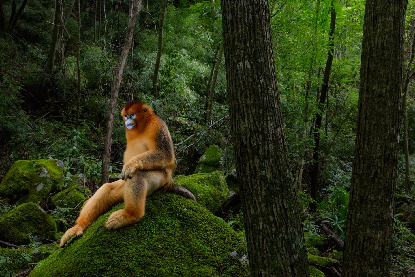Highly Commended Natural World, Portfolio. The highly endangered, golden snub-nosed monkey in Shaanxi, China