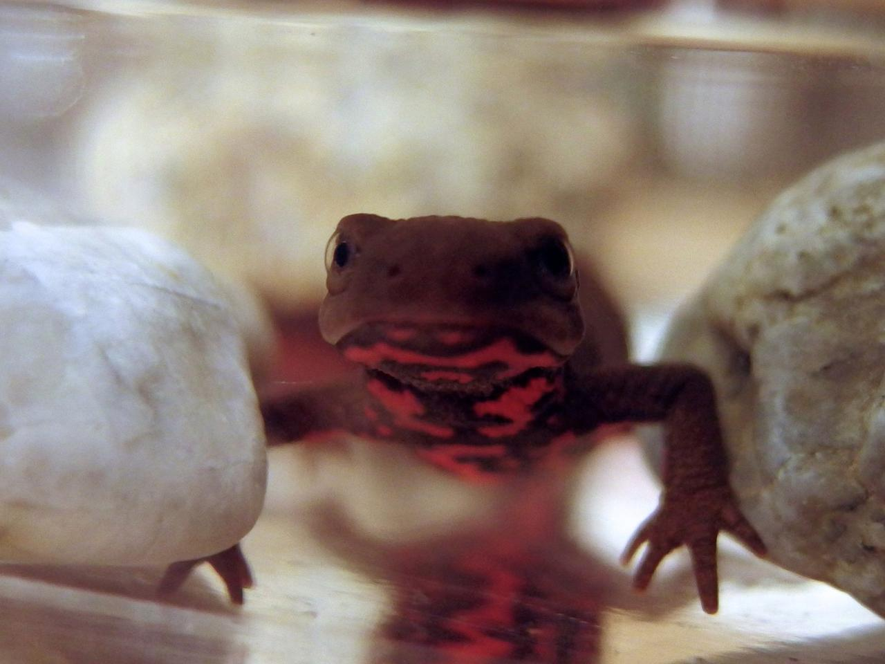 New insights into how Japanese fire bellied newts regenerate their limbs could further our understanding of tissue regeneration in mammals