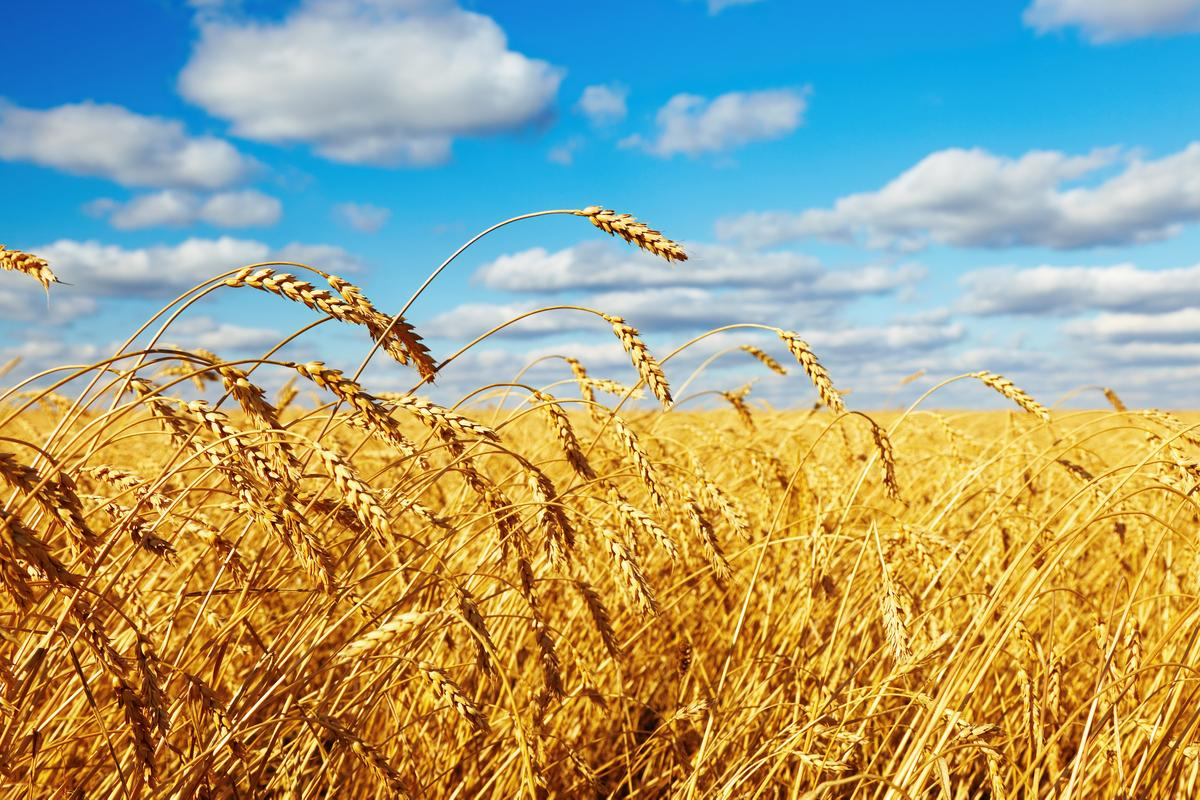 Conventional wheat like this has far less dietary fiber than the high-amylose wheat