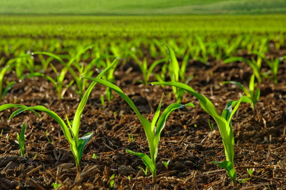 Engineering plants that can better absorb iron from alkaline soils could open up large swathes of currently unsuitable land for staple crops like corn