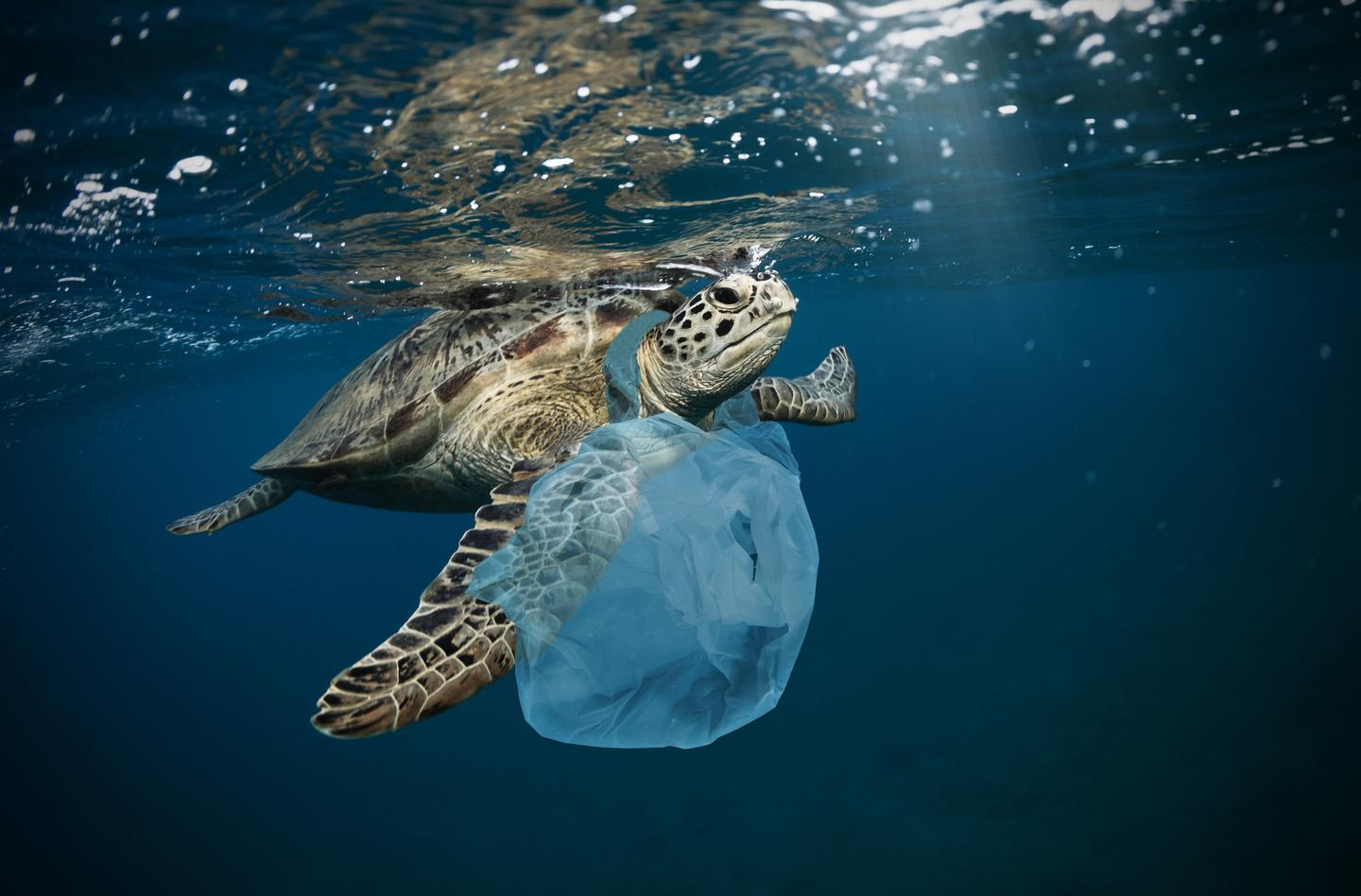 Research has shed new light on the battle turtles in face against plastic pollution