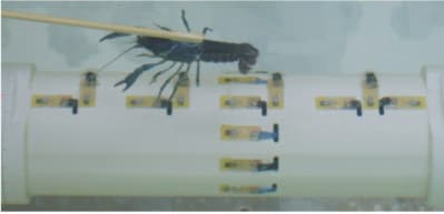 The crayfish used to test the lateral line sensor array