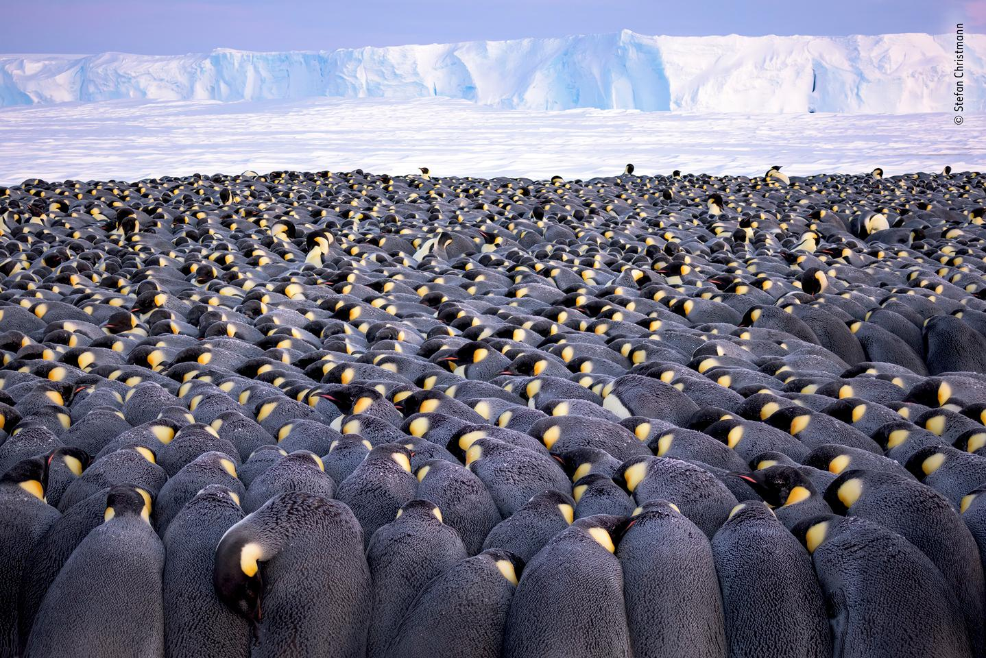 Winner - Wildlife Photographer of the Year Portfolio Award. More than 5,000 male emperor penguins huddle against the wind and late winter cold on the sea ice of Antarctica's Atka Bay, in front of the Ekström Ice Shelf