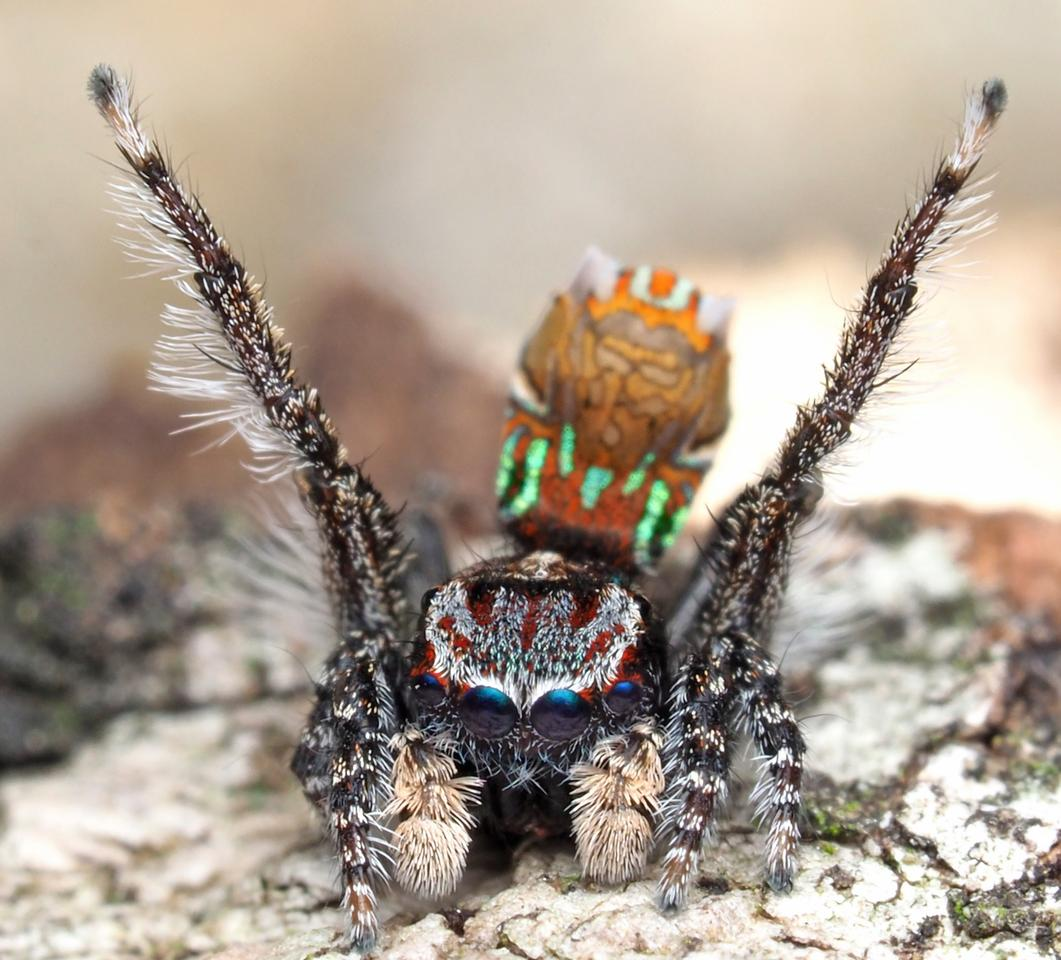 The lurid Maratus Noggerup, named for the town in Western Australia near which it was found