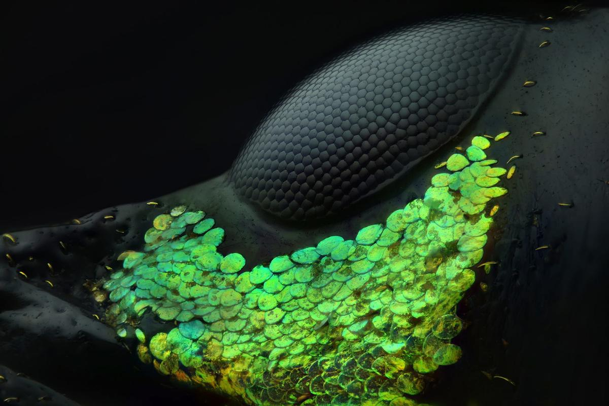 1st Place winning image, The eye of a Metapocyrtus subquadrulifer beetle