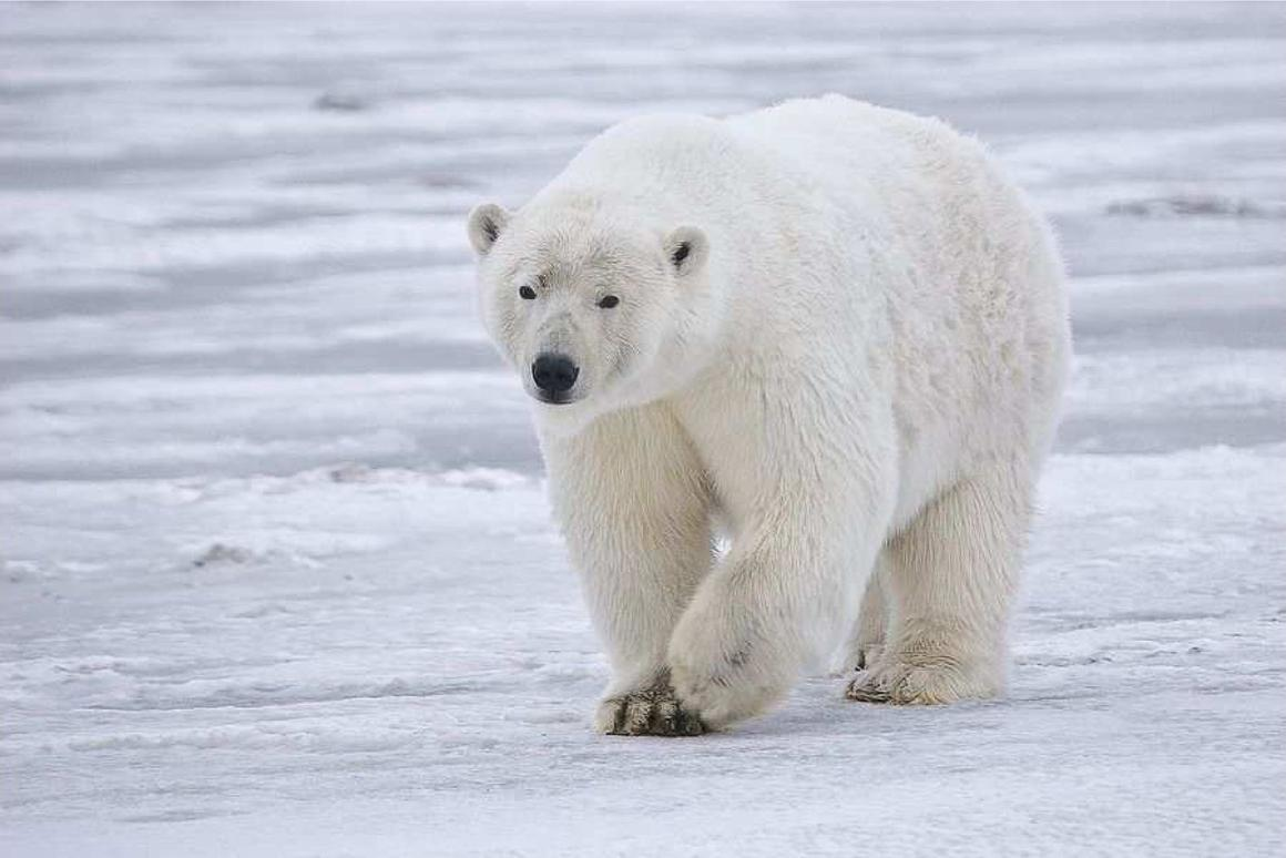 Mimicking polar bear fur, which is able to insulate the animal's body to temperatures of 98.6° F (37° C) when outside temperatures get as low as -40° F (-40° C) could lead to better building insulation (Photo: Alan D. Wilson)