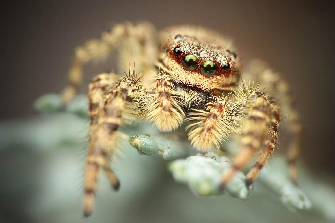 Finalist: Jumping Spider
