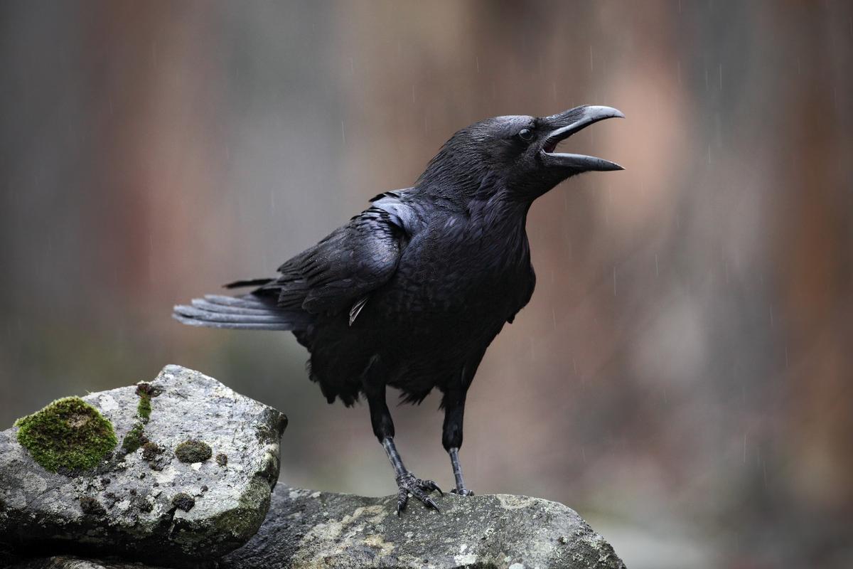 Ravens won't be fooled twice