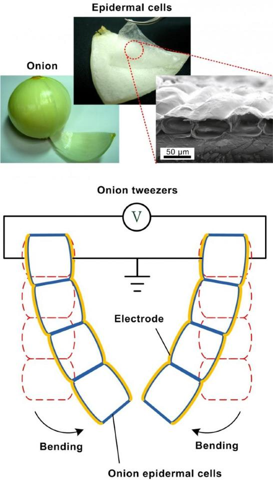 In order to demonstrate the technology, two of the artificial muscles were combined to form a pair of tweezers, which were used to pick up a cotton ball (Image: Shih Lab, National Taiwan University)