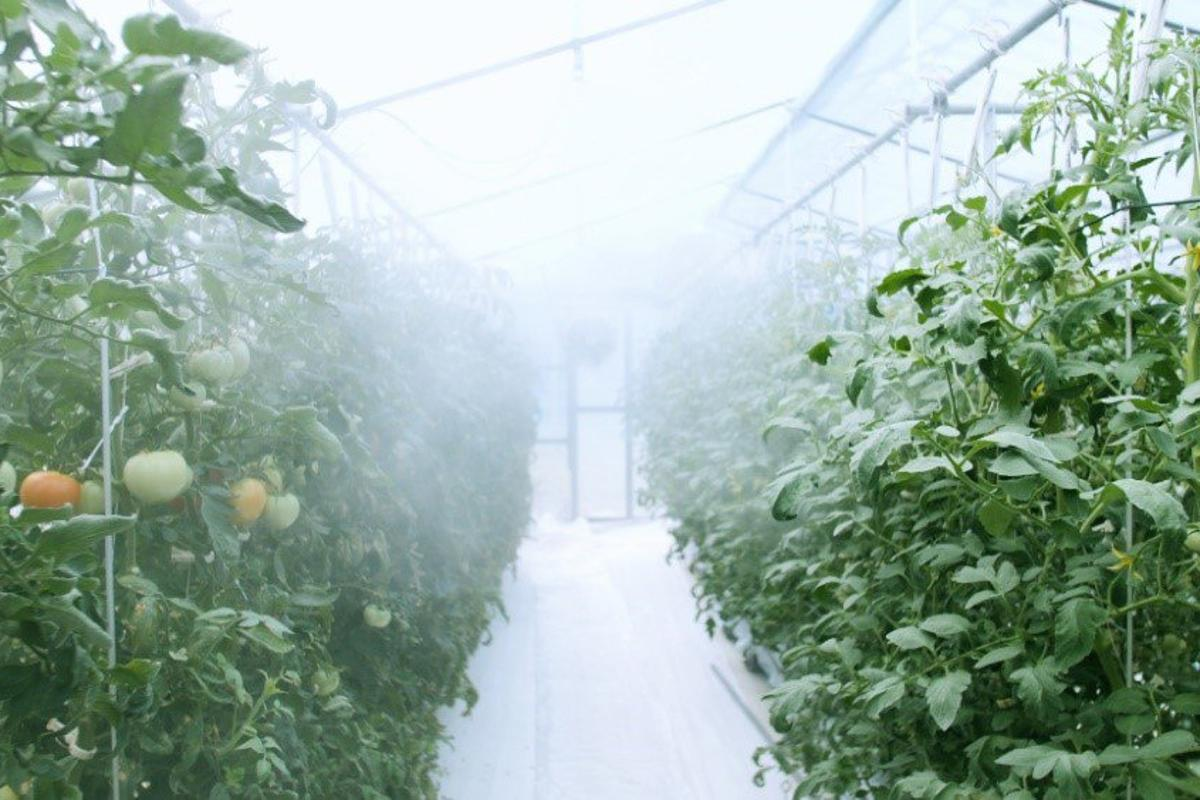 Tomatoes being grown inside the Asian Monsoon Plant Factory System