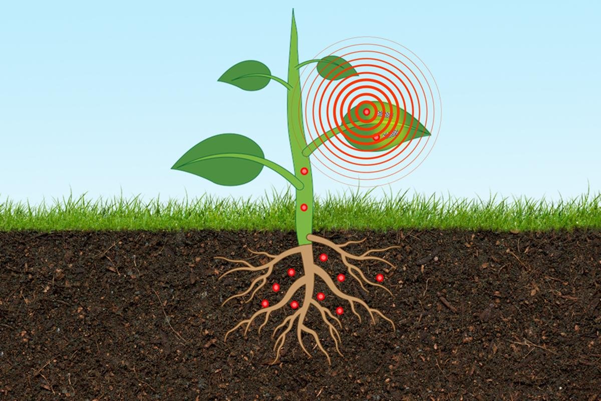 A first-of-a-kind plant-based nanosensor can monitor arsenic concentrations in soil