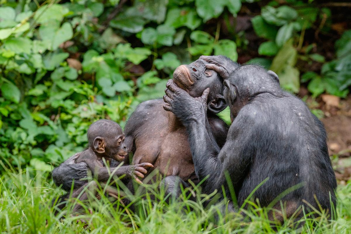 Bonobos (pictured) and chimpanzees share gestures which initiate grooming