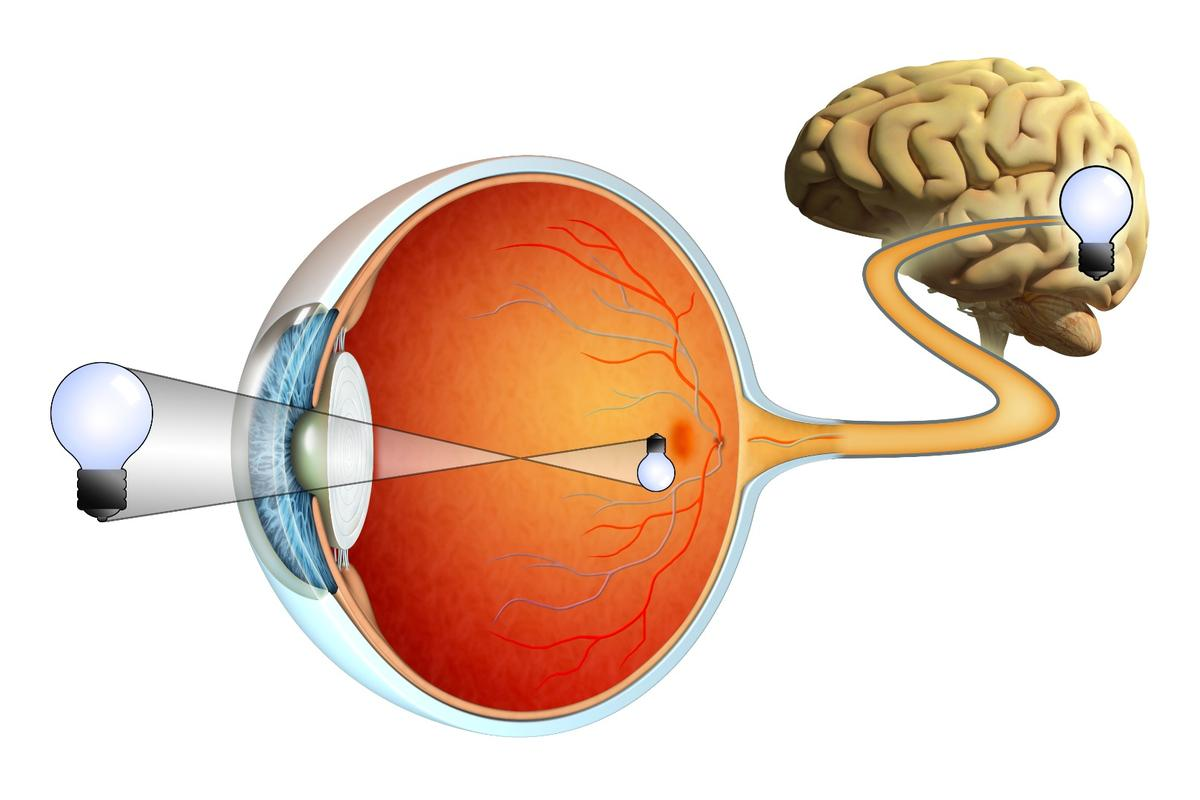 A diagram showing how the retina (orange) receives images and sends them to the brain