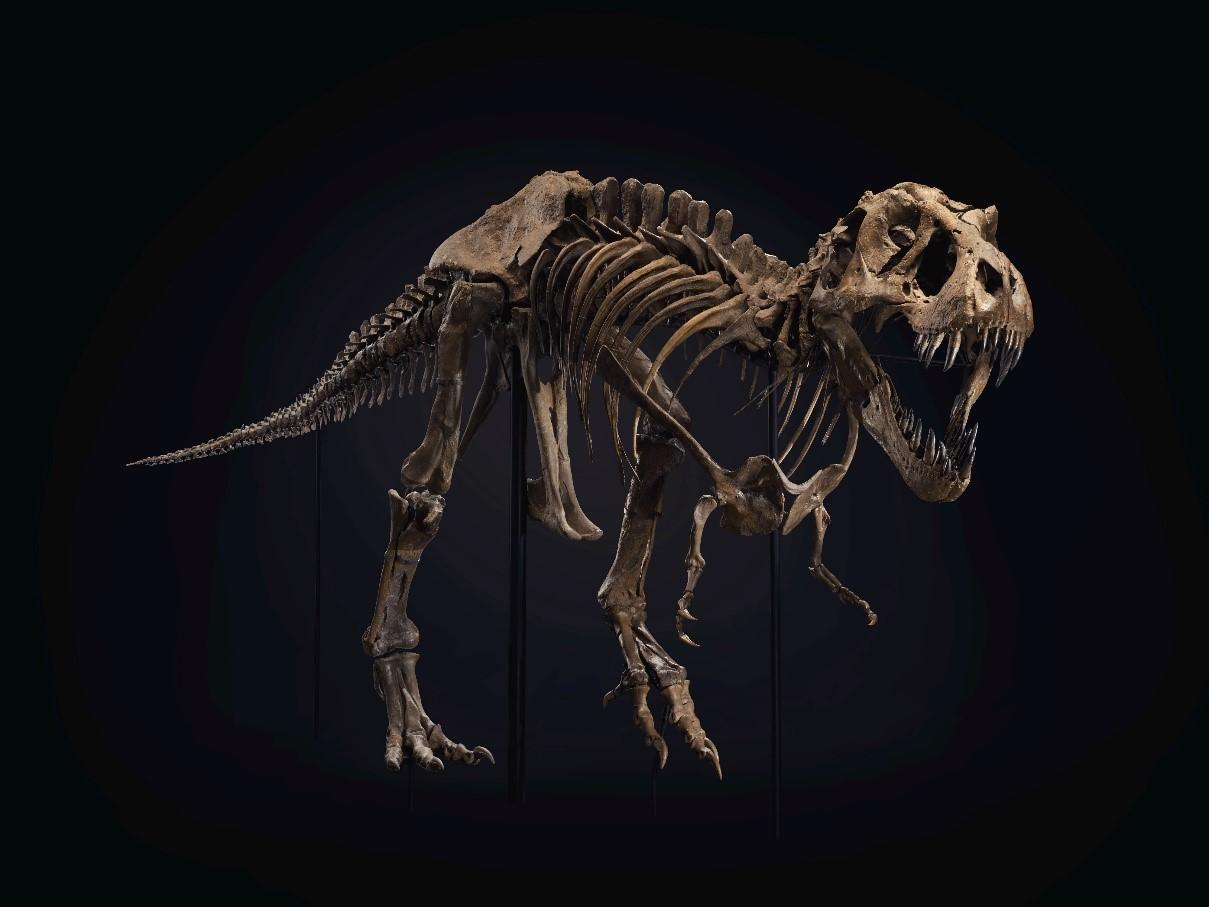 A huge Tyrannosaurus Rex specimen nicknamed Stan is heading to auction