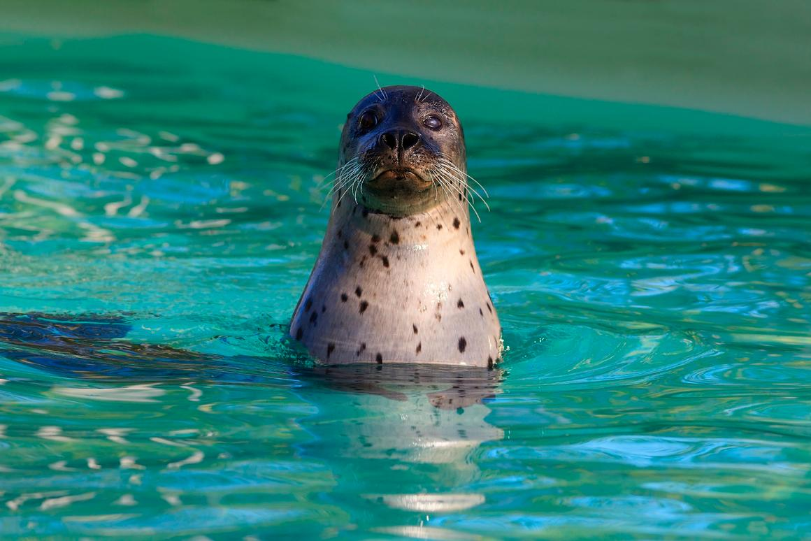 Scientists have trained seals to mimic the sounds of human voice