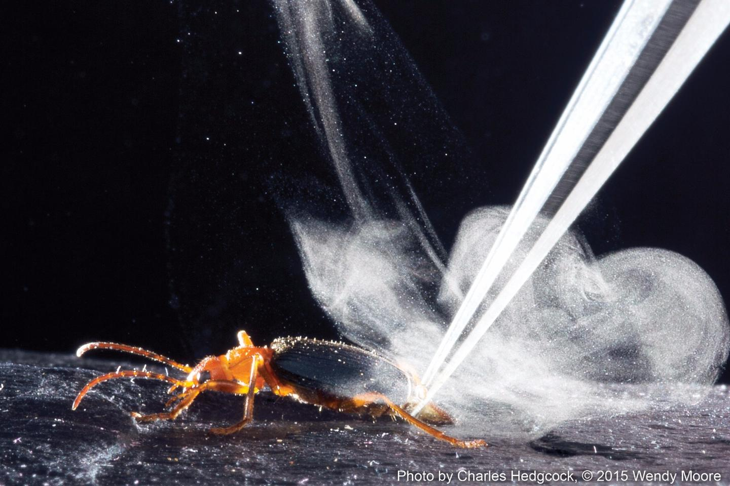 Shot of the bombardier beetle producing its distinctive defensive spray (Photo: Charles Hedgcock)