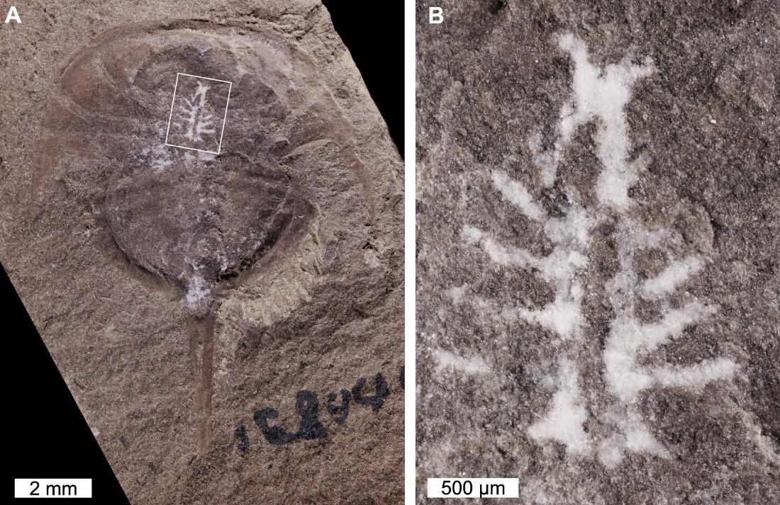 The fossilized horseshoe crab Euproops danae, along with a zoomed-in view of its uniquely preserved brain in white