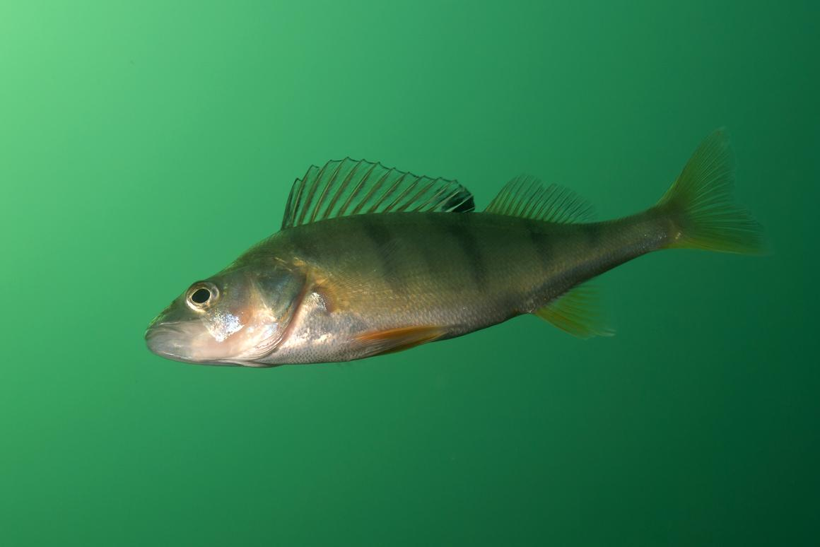 Instead of becoming less gloomy, perch exposed to antidepressant residue get reckless and greedy (Photo: Shutterstock)