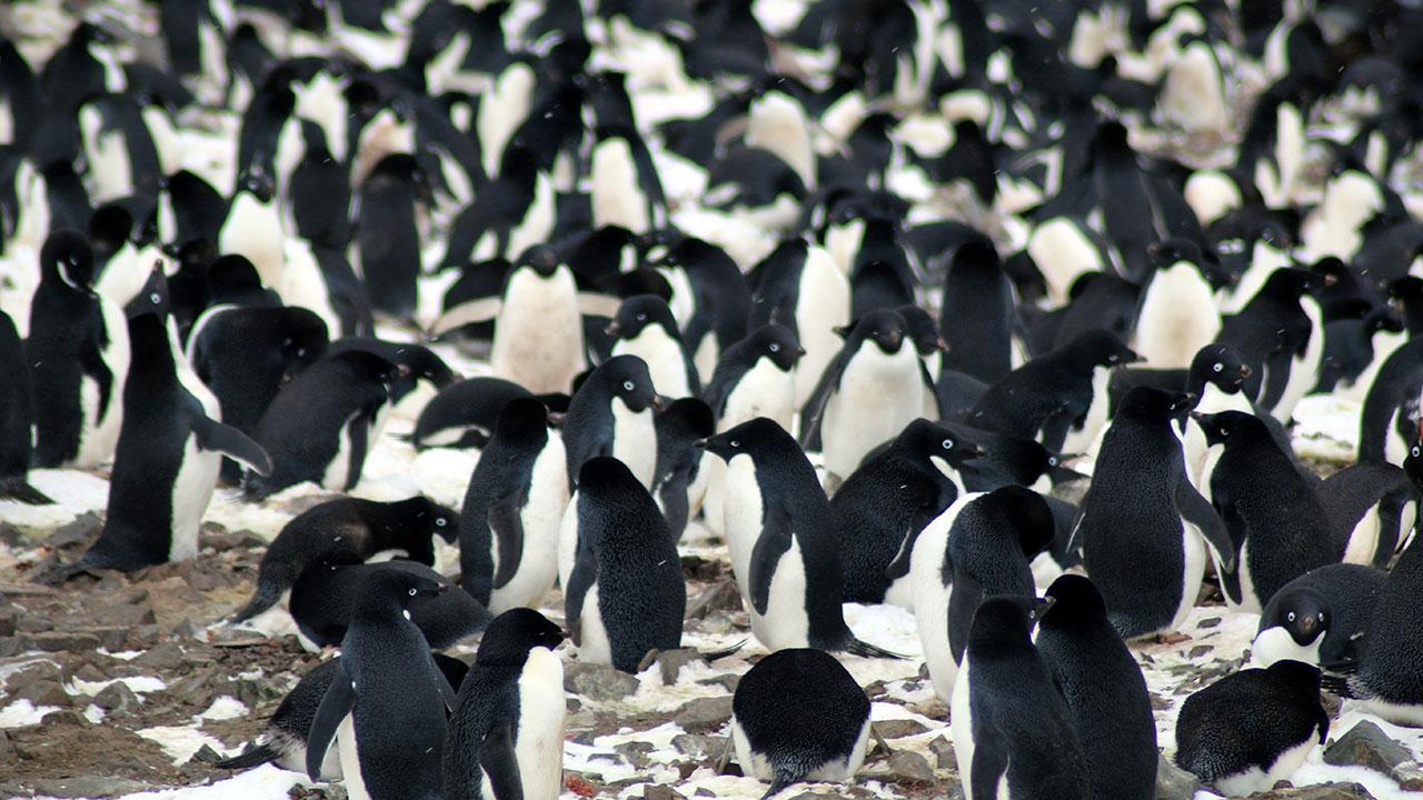 The researchers found that the Danger Islands have 751,527 pairs of Adélie penguins